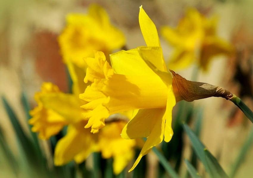 Find British - Welsh Daffodil