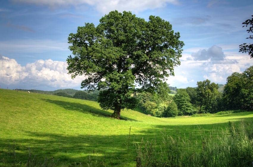 Find British - Oak Tree