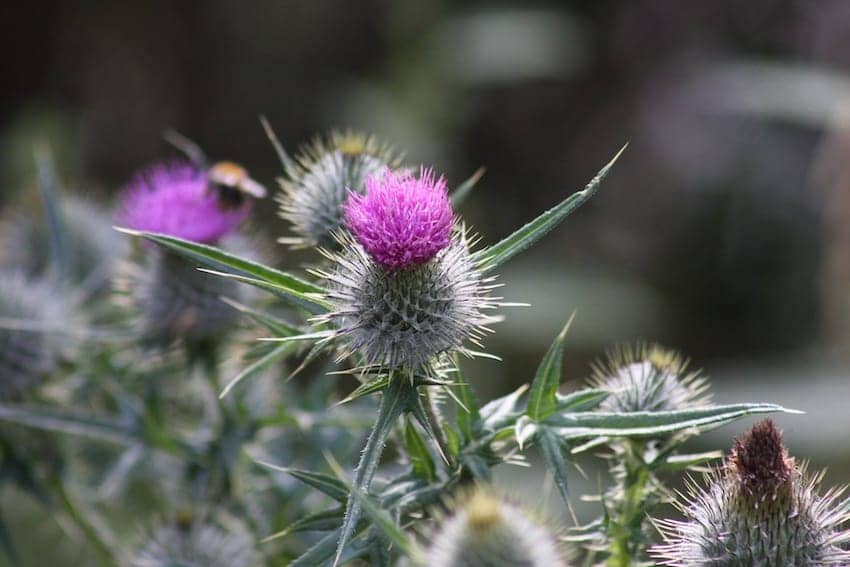 Find British - Scottish Thistle